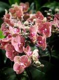 Fleurs rayées rouges d'orchidée de phalaenopsis Image stock