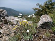 Fleurs rocheuses Images libres de droits