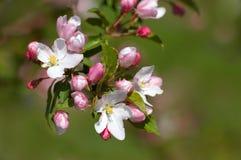 fleurs Rosâtre-blanches de pomme Photo libre de droits