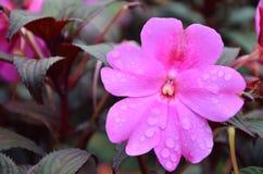 Fleurs rosâtres de fleur pendant le matin Photo stock