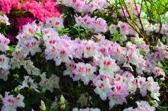 Fleurs rose-clair blanches d'azalée Photos libres de droits