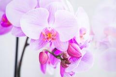 Fleurs Rose d'orchidées Fond blanc photos libres de droits