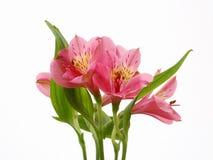 Fleurs roses Photos libres de droits