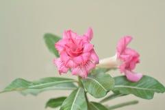 Fleurs roses Photos stock