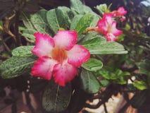 Fleurs roses Photo libre de droits