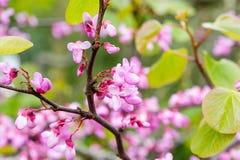Fleurs roses - arbre de fleur Photo stock