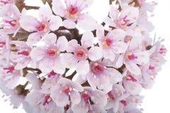 Fleurs roses au-dessus de blanc Photo libre de droits