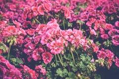 Fleurs roses au-dessus des feuilles vertes Photo libre de droits