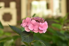 Fleurs roses au soleil Photo stock