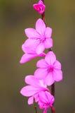 Fleurs roses avec de petits pétales photos stock