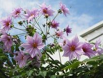 Fleurs roses avec des abeilles Photos libres de droits