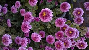 Fleurs roses avec des nuances de darkpink à l'intérieur Images libres de droits