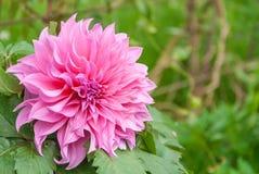 Fleurs roses avec le fond vert Image stock