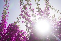 Fleurs roses avec le soleil en été Images stock