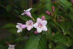 Fleurs roses avec les feuilles vertes à la nuance des arbres Photographie stock