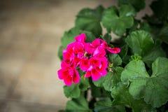 Fleurs roses avec les lames vertes Photographie stock