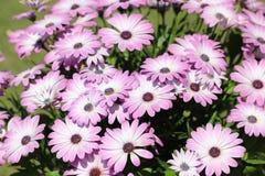 Fleurs roses, belle fleur violette Images stock