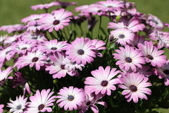 Fleurs roses, belle fleur violette Photo stock