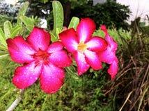 Fleurs roses blanches dans le jardin photographie stock