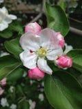 Fleurs roses blanches sur les buissons Photographie stock