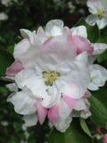 Fleurs roses blanches sur les buissons Photographie stock libre de droits
