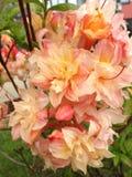 Fleurs roses blanches sur les buissons Photo stock