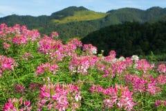 Fleurs roses colorées dans le jardin images libres de droits