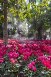 Fleurs roses couleurs cerise lumineuses de groupe de géranium de pélargonium Photo stock