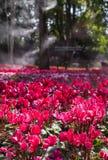 Fleurs roses couleurs cerise lumineuses de groupe de géranium de pélargonium Images libres de droits