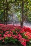 Fleurs roses couleurs cerise lumineuses de groupe de géranium de pélargonium Photos libres de droits