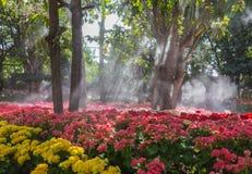 Fleurs roses couleurs cerise lumineuses de groupe de géranium de pélargonium Image libre de droits
