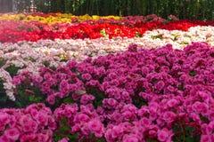 Fleurs roses couleurs cerise lumineuses de groupe de géranium de pélargonium Photos stock