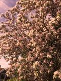 Fleurs roses d'été d'arbre Photographie stock libre de droits