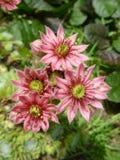 Fleurs roses d'étoile Photographie stock