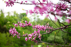 Fleurs roses d'acacia Photo libre de droits