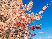 Fleurs roses d'amande Photographie stock libre de droits