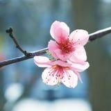 Fleurs roses d'amande Photographie stock