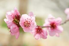 Fleurs roses d'amande Photo libre de droits