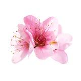 Fleurs roses d'amande d'isolement sur le blanc Photographie stock libre de droits