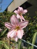 Fleurs roses d'amaryllis Photographie stock