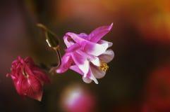Fleurs roses d'ancolie dans un jardin Image stock