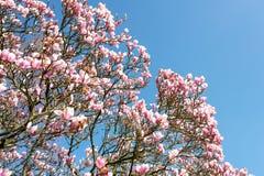 Fleurs roses d'arbre de fleur de magnolia photos stock