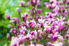 Fleurs roses d'arbre de magnolia Photographie stock