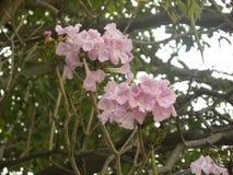 Fleurs roses d'arbre de trompette rose photographie stock libre de droits
