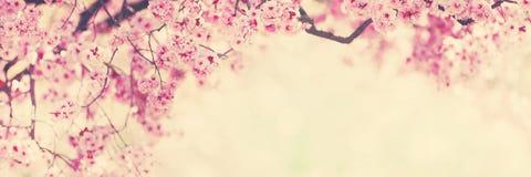 Fleurs roses d'arbre, fleur de ressort Photos libres de droits