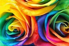 Fleurs roses d'arc-en-ciel étonnant Images stock