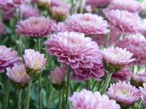 Fleurs roses d'aster Photographie stock libre de droits