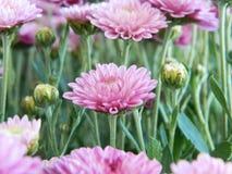 Fleurs roses d'aster Photo stock