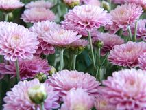 Fleurs roses d'aster Photographie stock