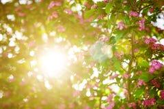 Fleurs roses d'aubépine Photo libre de droits